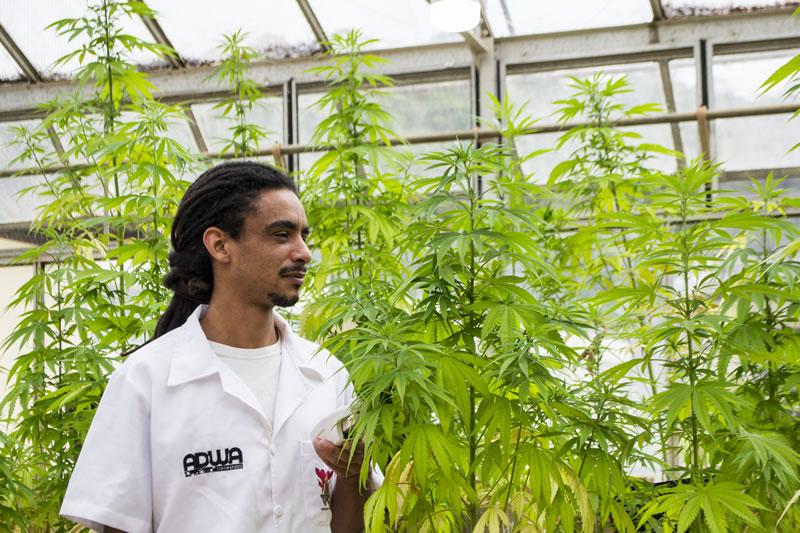 especialista cultivando cannabis